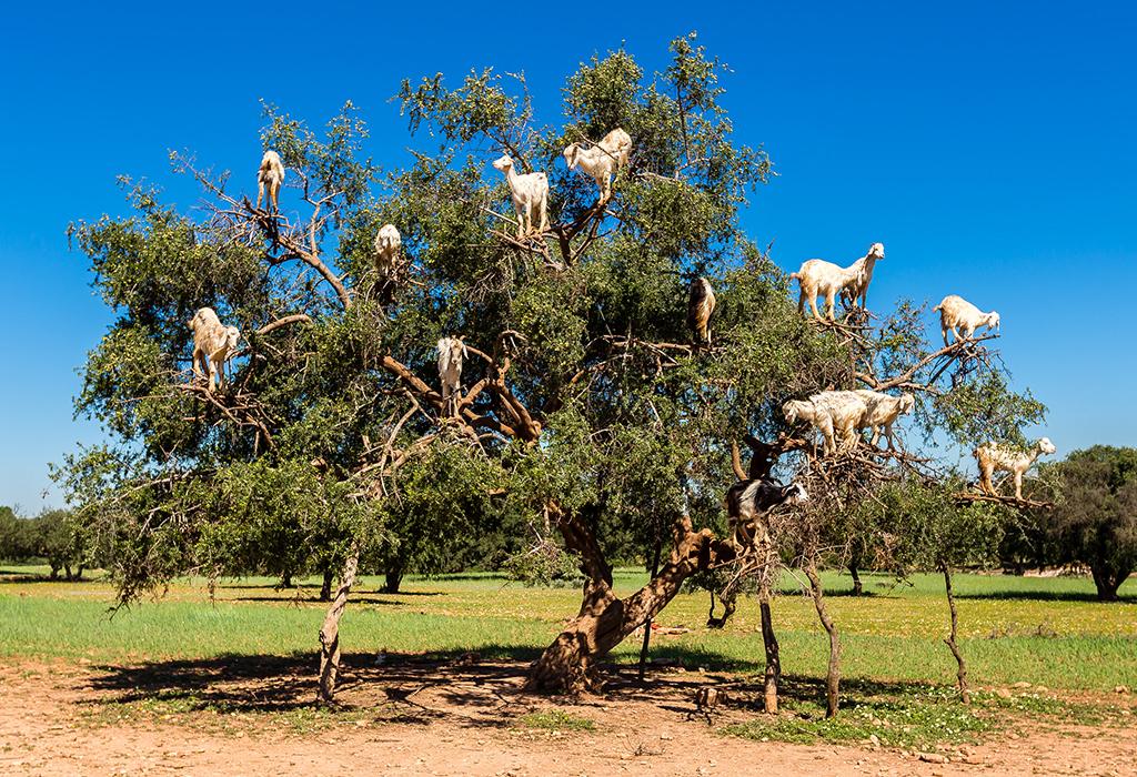 Goats-on-Trees-Essaouira-1-day-trip-from-Marrakech