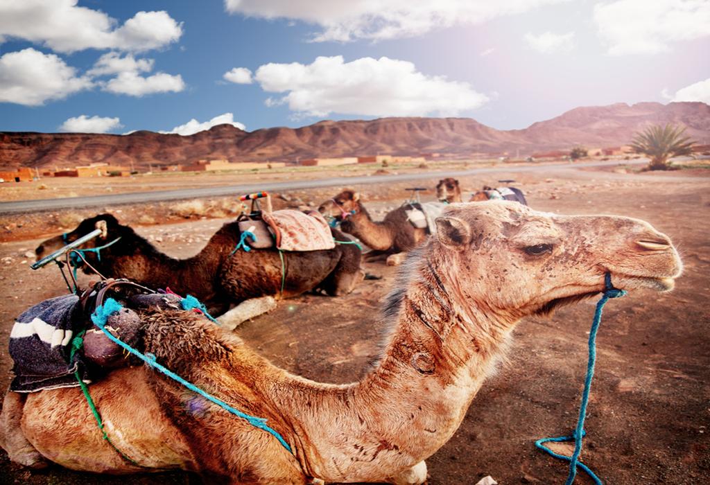 Zagora Desert camel trip from marrakech