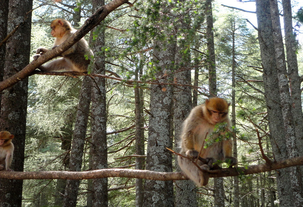 monkey-ifran-from-marrakech-to-fez-desert-tour